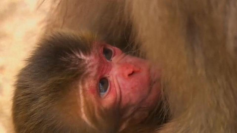 The Takagoyama Nature Zoo in the city of Futtsu in Chiba prefecture east of Tokyo, housed 164 simians which it believed were all pure Japanese macaques.