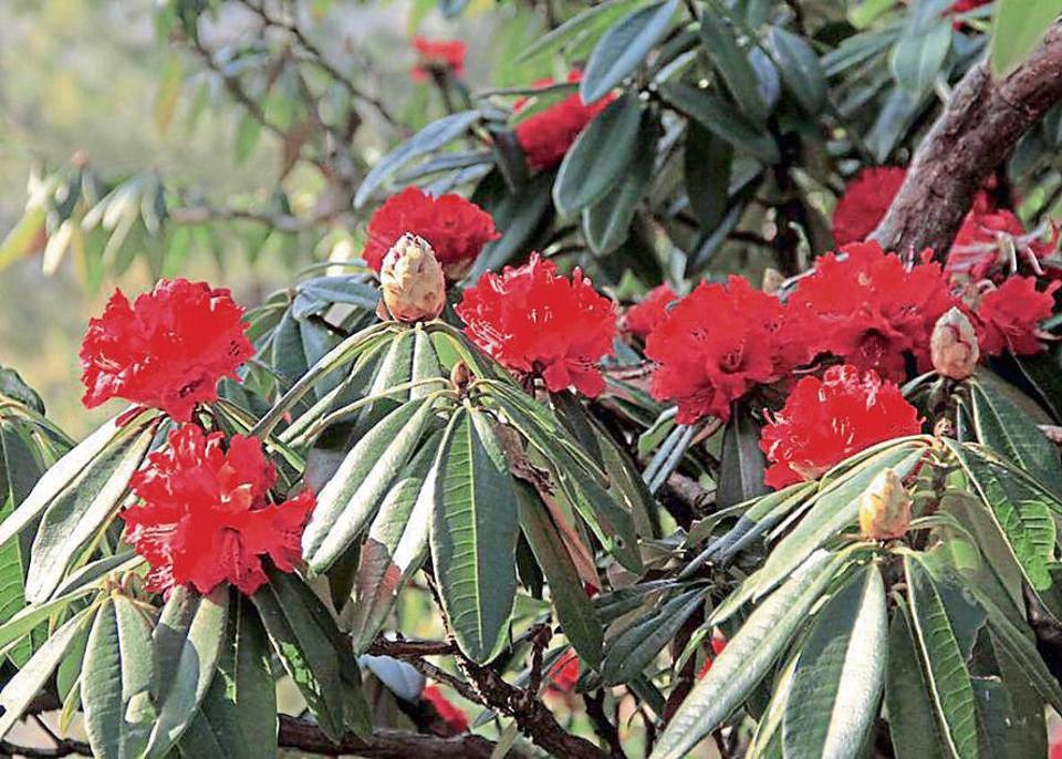 Rise in temperature is one of the main reasons for early blooming of rhododendron.