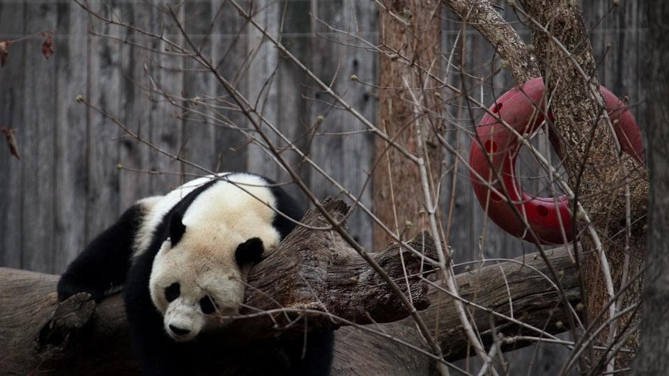Giant panda Bao Bao plays in her outdoor habitat at the Smithsonian's National Zoo on February 21 in Washington, DC.