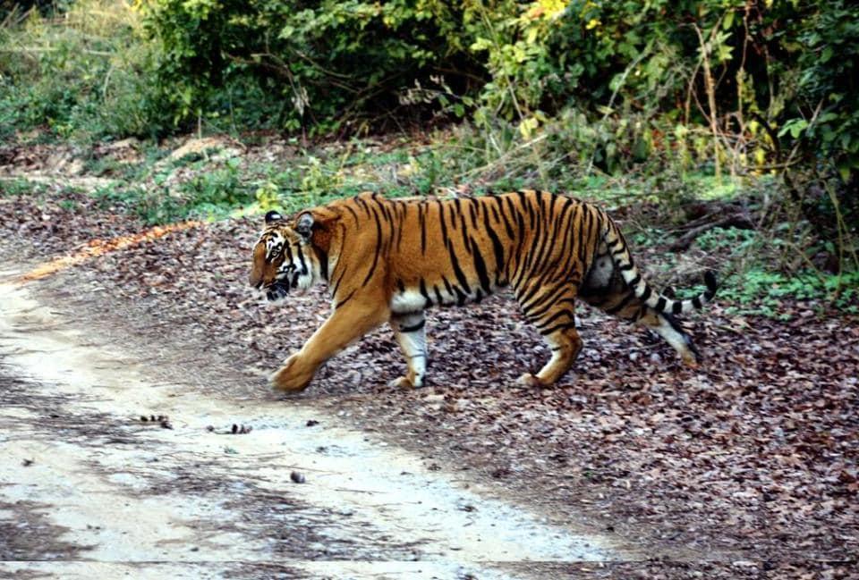A tiger crosses a road inside Corbett .