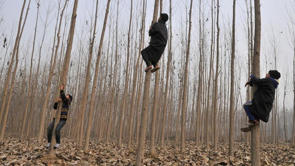 Kashmiri children climb willow trees, of which cricket bats are made. (WASEEM ANDRABI / HT PHOTO)