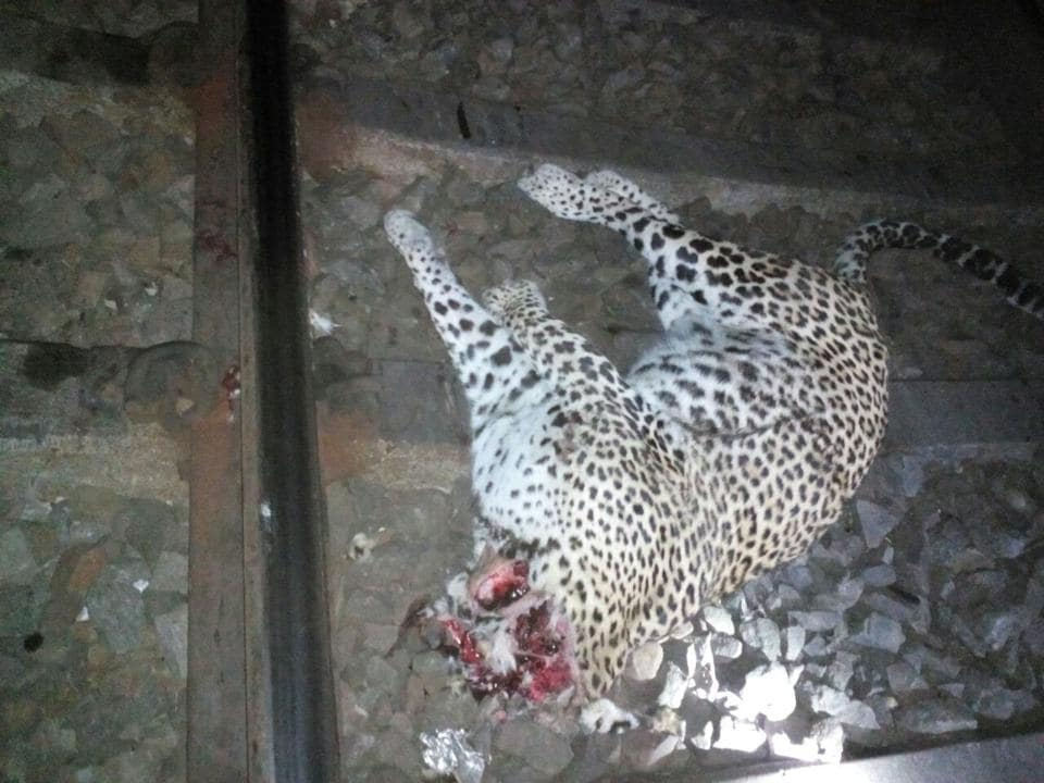 Carcass of the leopard