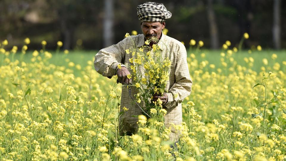 In Rajasthan, mustard is mostly grown in areas like Sriganganagar, Alwar, Bharatpur and Kota.