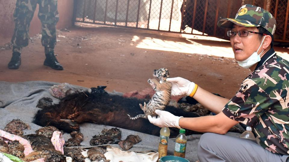 A dead tiger cub is held up by a Thai official after authorities found 40 tiger cub carcasses during a raid on the controversial Tiger Temple, in Kanchanaburi province, west of Bangkok.