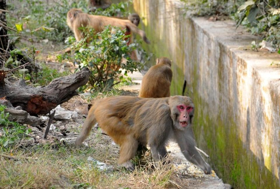 In January last year, the forest department had carried out special drives to stop people from feeding monkeys at temples and other religious places.