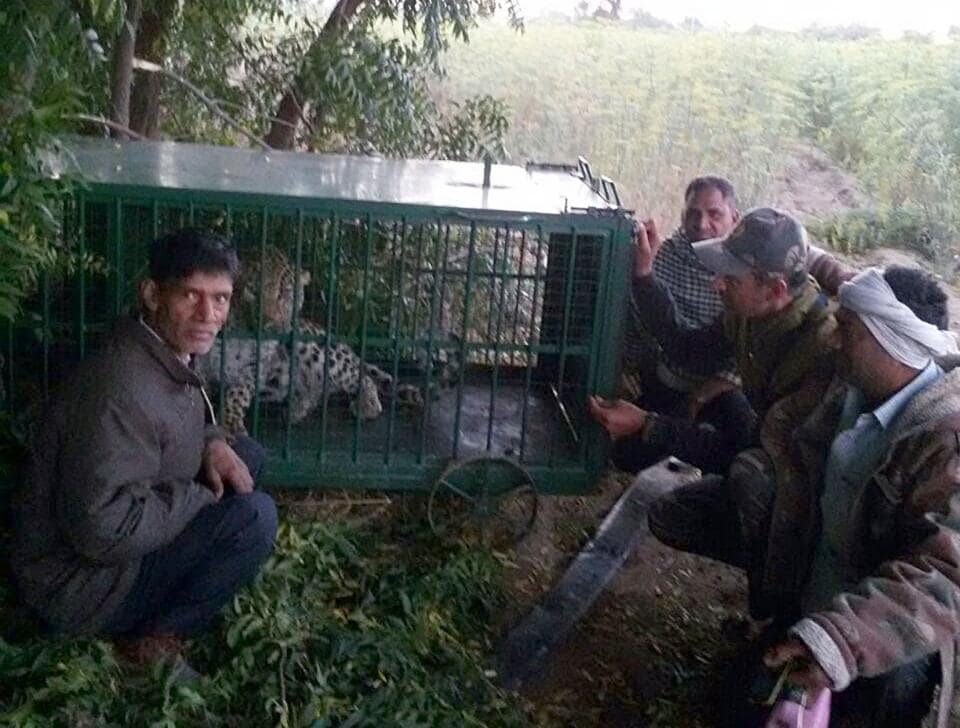 Forest department officials caught a leopard on Sunday morning from an agriculture field at Ghana Magra village in Jodhpur district.