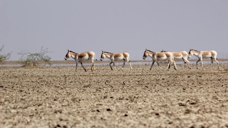 The Indian Wild Ass, or ghudkhar in local Gujarati, attracts tourists from across the globe, bringing about Rs 30 lakh every year to the Gujarat tourism department.