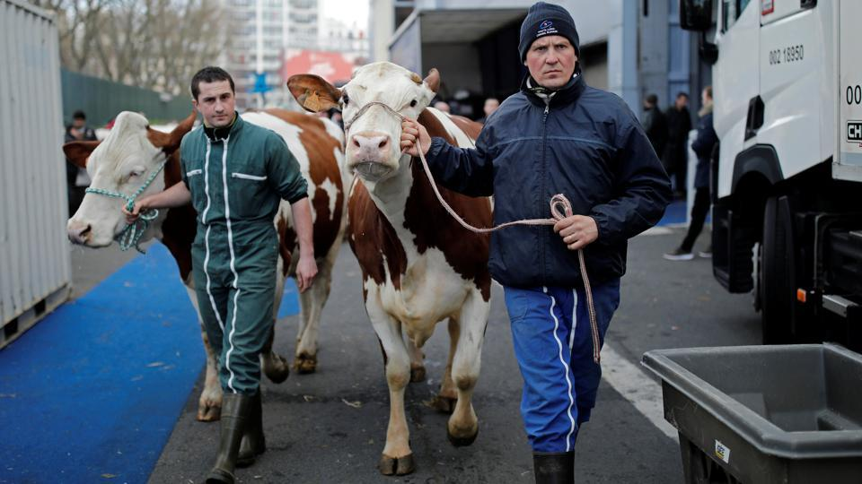 French farmers lead their cows for the International Agricultural Show in Paris, France. (Benoit Tessier / REUTERS)
