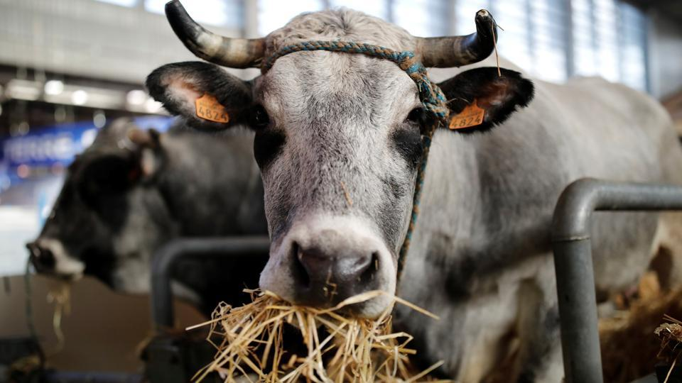 A cow is pictured  inside a barn ahead of the International Agricultural Show in Paris. (Benoit Tessier / REUTERS)
