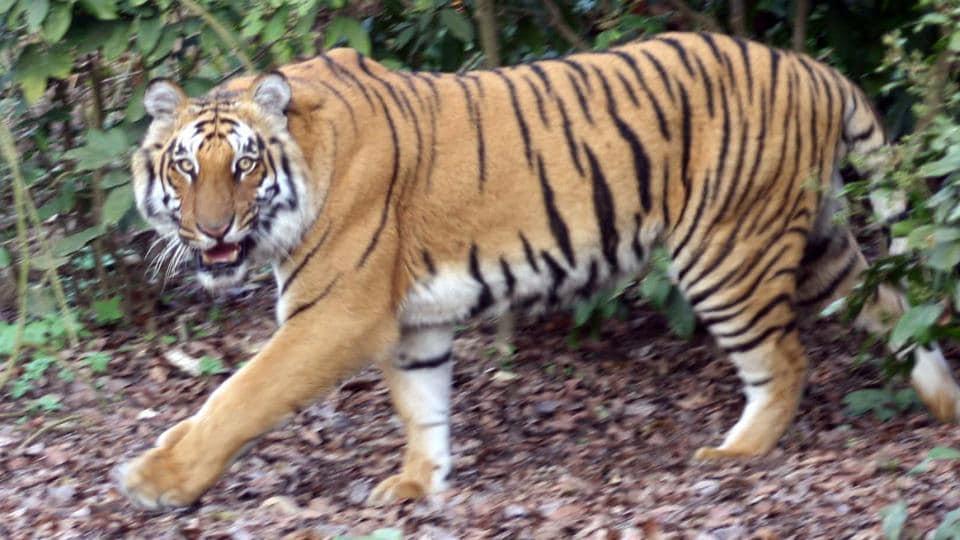 tiger at Corbett Tiger Reserve in Ramnagar.