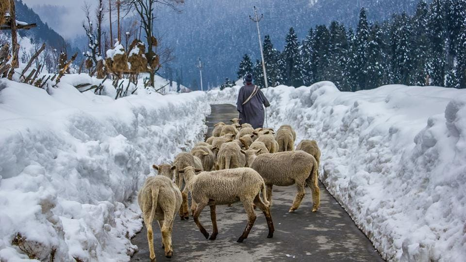A shepherd herding his flock in Aru Valley, near Pahalgam. (Prasun Mitra)