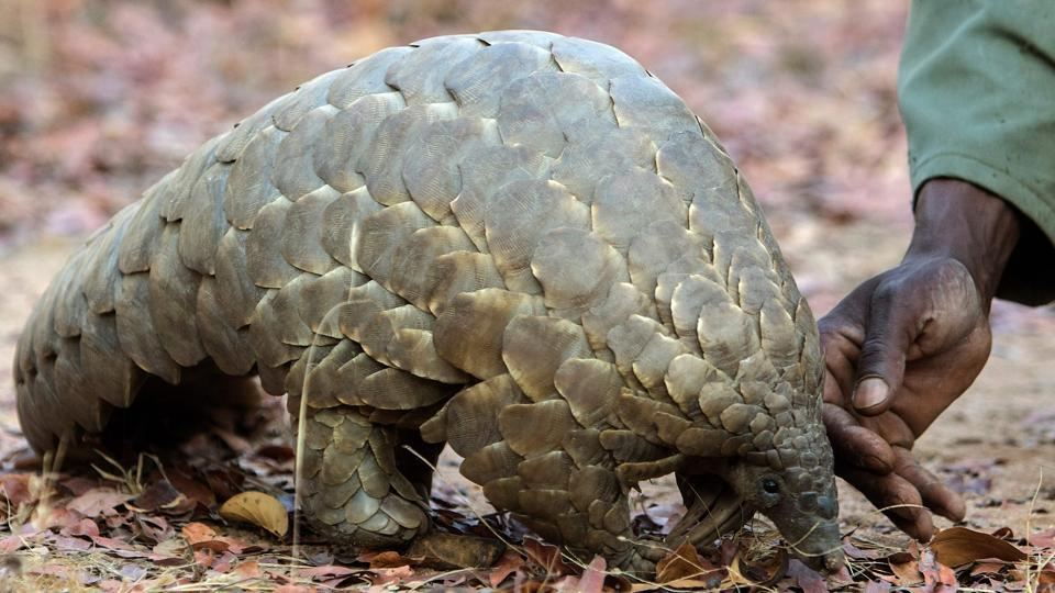 Nearly 2,000 pangolins were killed between 2009 and 2014 in India.
