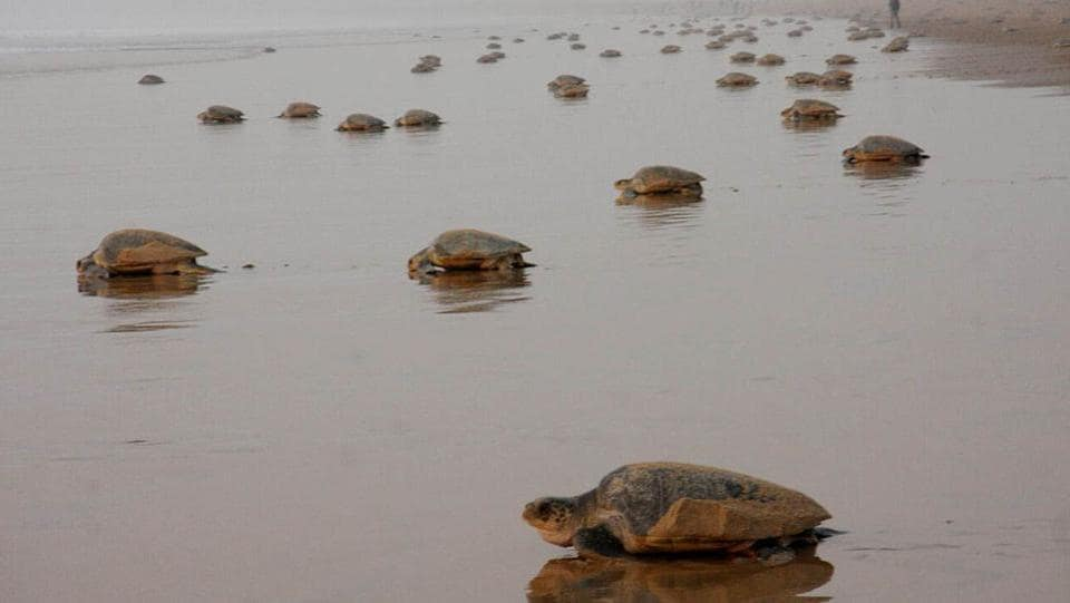 A mass of turtles prepare to return to the sea after nesting. (HT PHOTO)
