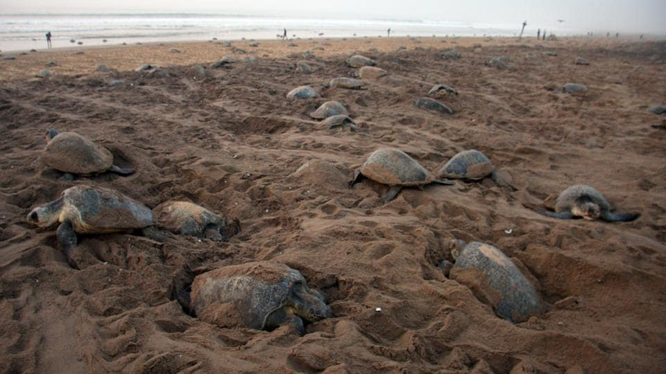 The coast of Odisha in India is the largest mass nesting site for the Olive Ridley in the world, followed by the coasts of Mexico and Costa Rica. (HT PHOTO)