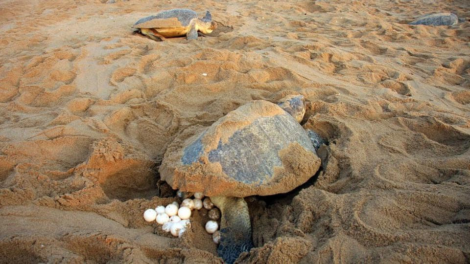 On an average, around 100 to 150 eggs are laid by each female turtle in the nests. The Olive Ridley is classified as Vulnerable according to the International Union for Conservation of Nature and Natural Resources (IUCN). (HT PHOTO)