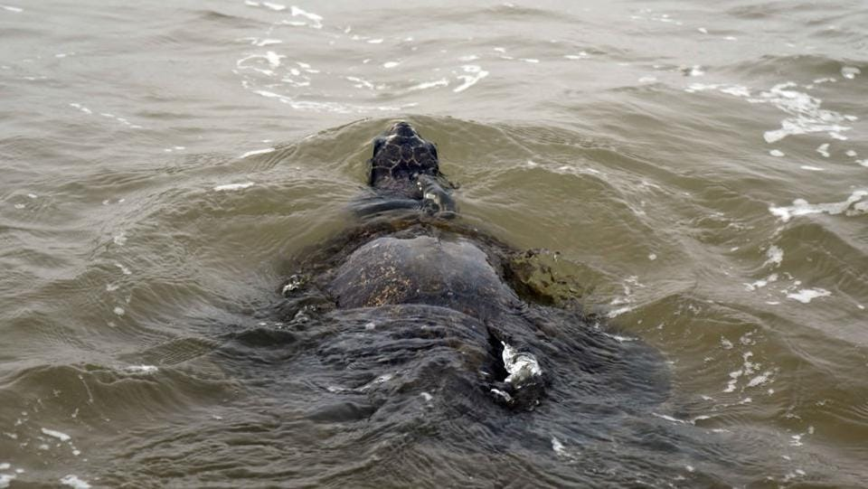 The turtles return to sea beginning another cycle of life. (Arabinda Mohapatra)