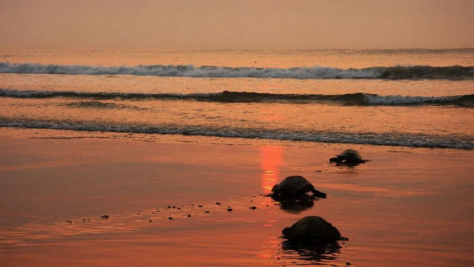The mother turtles however do not wait to see the baby turtles emerging as hatchlings and continue back into the sea. (HT PHOTO)