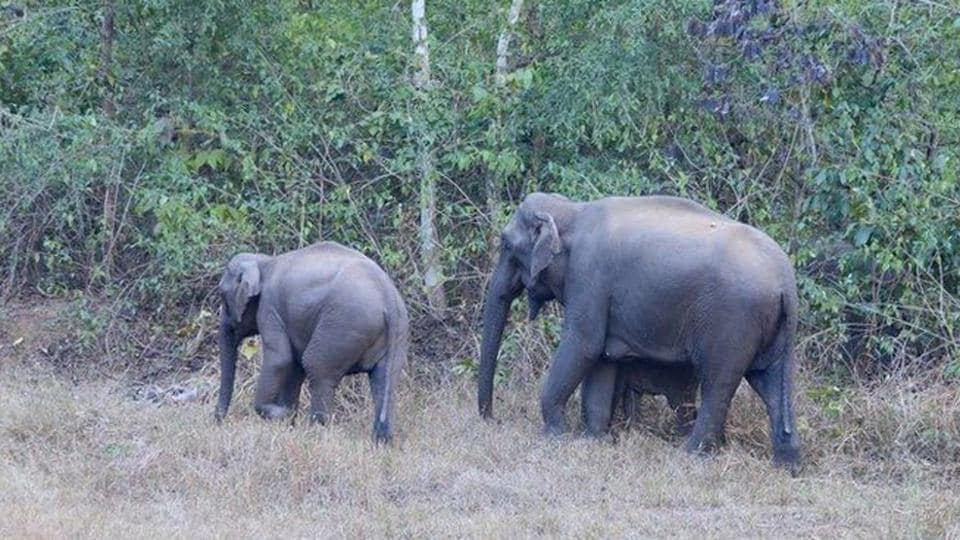 Wild elephants at Palamu Tiger reserve in Palamu