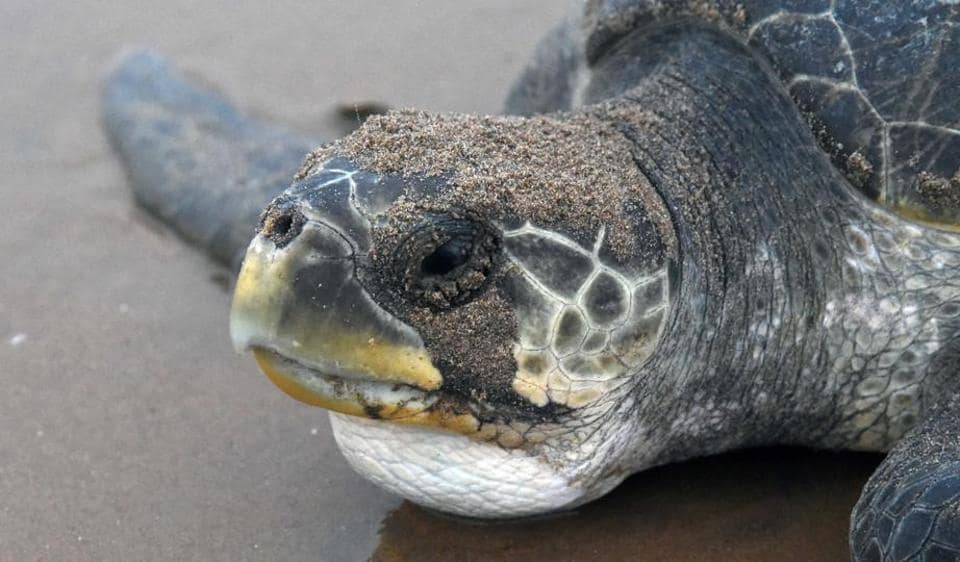 Rushikulya rookery off the coast of Odisha is home to the world famous Olive Ridley sea turtles nesting sites where a record of sorts has been created recently of mass nesting from mid- February to March second week this year. (Arabinda Mohapatra)