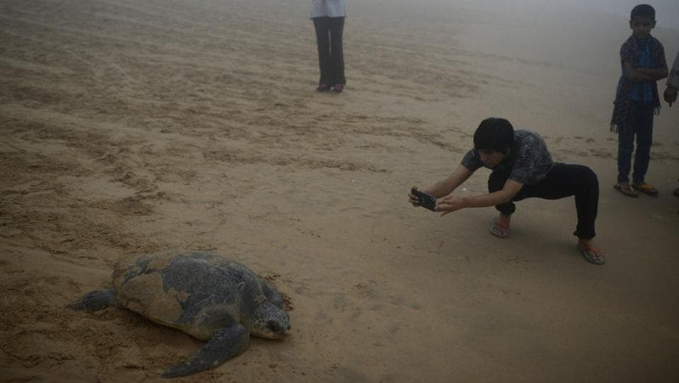 Visitors click photos of the turtles as they pull themselves to the sea. (Arabinda Mohapatra)