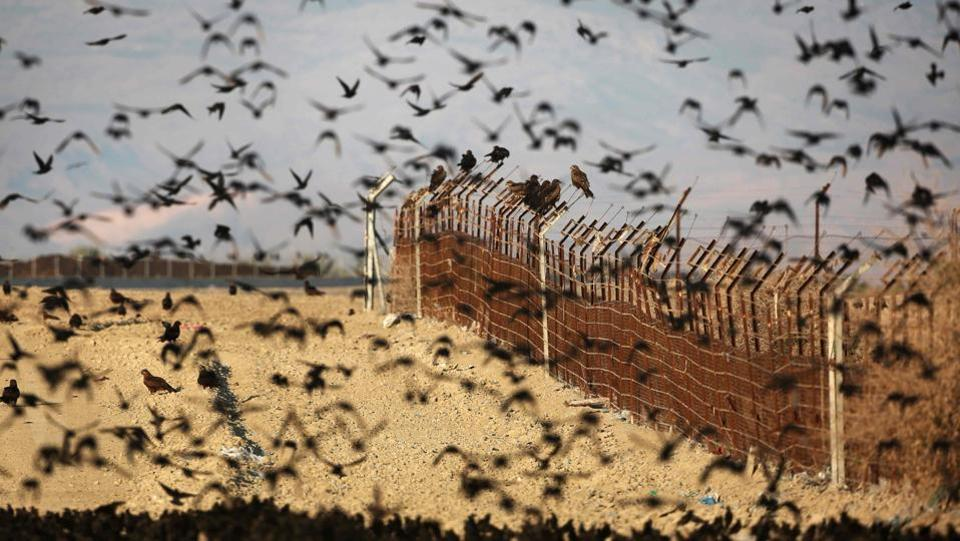 Black kites  flying  on the Israeli-Jordan border fence in the Jordan Valley in the West Bank.  (MENAHEM KAHANA / AFP)