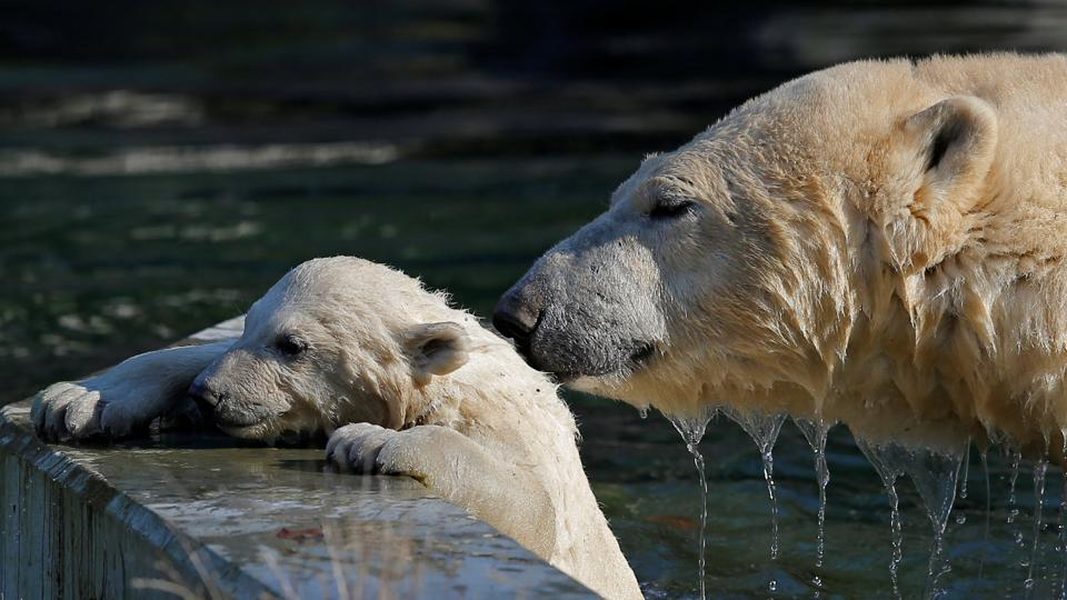 Female Polar bear cub Nanuq, plays in the water with its mother Sesi during her first presentation to the public to mark the international polar bear day. (Vincent Kessler / REUTERS)