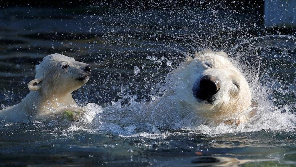 Female Polar bear cub Nanuq (polar bear in the Inuit language), born on November 7, 2016, plays in the water with it's mother Sesi during it's first presentation to the public to mark the international polar bear day at the zoo of Mulhouse. (Vincent Kessler / REUTERS)