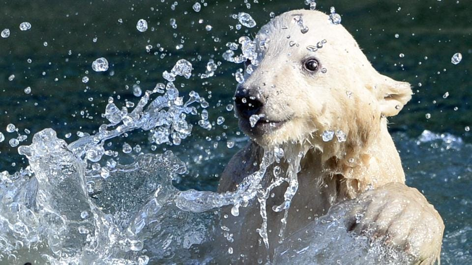 The cub's debut was a highlight of the International Polar Bear Day initiated by Polar Bears International, an NGO that works to protect polar bears in the wild. (SEBASTIEN BOZON / AFP)