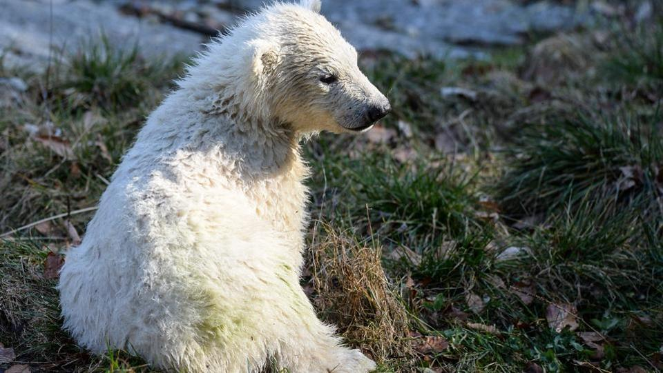 In 2016, 15 polar bear cubs were born in animal parks within Europe, of which only six survived. (SEBASTIEN BOZON / AFP)