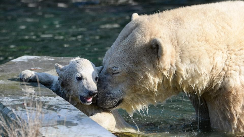 Nanuq, a polar bear cub was born on November 7, 2016.  (Sebastien Bozon / AFP)