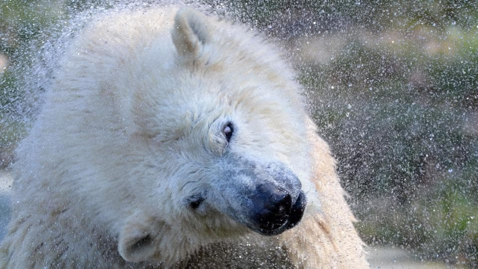 Sessi, a female polar bear cub, shakes water off her fur at the Mulhouse zoo. (SEBASTIEN BOZON / AFP)