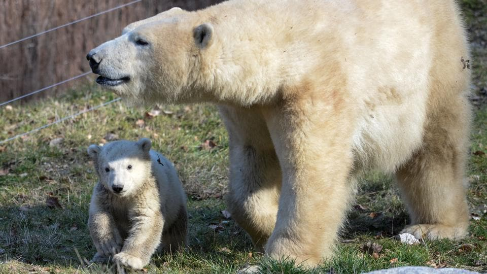 Nanuq, a polar bear cub, walking  with her mother Sessi, at the Mulhouse zoo. (SEBASTIEN BOZON / AFP)