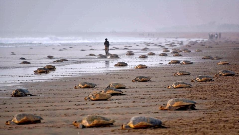 Olive Ridley turtles return to the sea after laying their eggs in the sand at Rushikulya Beach, some 140 kilometres (88 miles) south-west of Bhubaneswar.