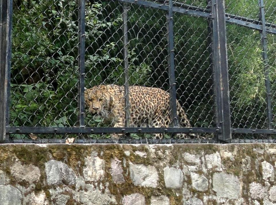 The Nainital Zoo has nine leopards, most of them are rescued.