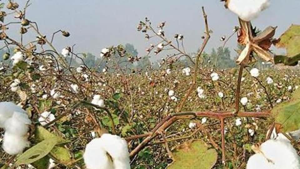 The cotton sowing area in the Malwa belt was reduced to 2.48 lakh hectares in 2016-17 from the 4.50 lakh hectare in 2015-16.