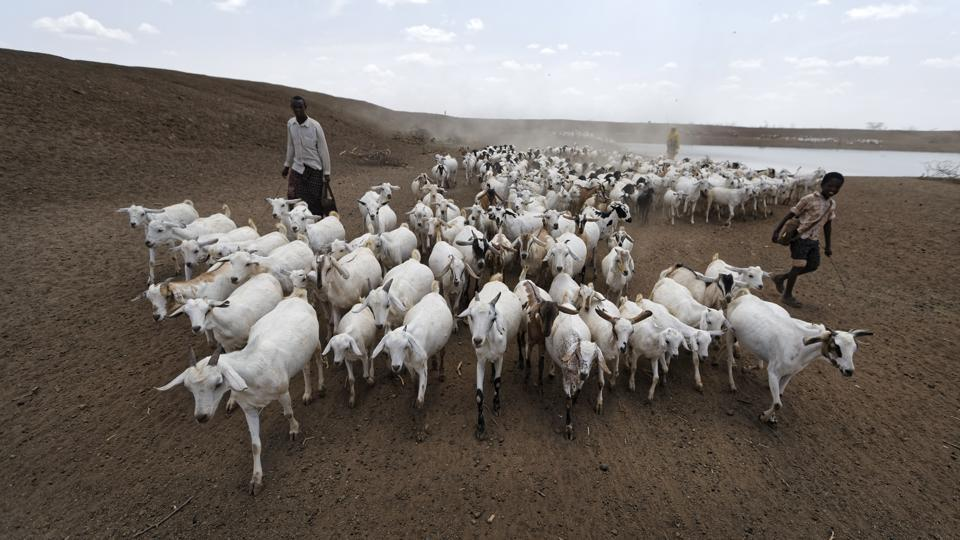 A herder drives his animals away after watering them, near the drought-affected village of Bandarero, near Moyale town . (Ben Curtis/ AP)