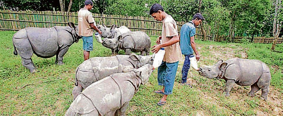 Centre for Wildlife Rehabilitation and Conservation officials feed flood rescued Rhino calves at a wildlife care facility in Kaziranga in Assam. Rhino are a protected species as their horns carry an exorbitant price in the international market. This makes Kaziranga a target for poachers. Between 2005 and 2015, 127 rhinos were killed by poachers.