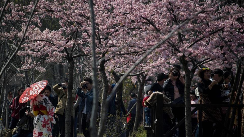 Cherry blossoms bloom  in the Gucun Park in Shanghai. (Johannes EISELE / AFP)
