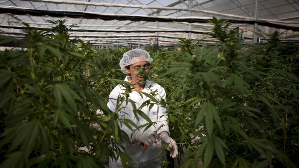 An Israeli woman works at Tikkun Olam medical cannabis farm, near the northern Israeli city of Safed, Israel. The Israeli government has taken a step toward decriminaliSing marijuana use.