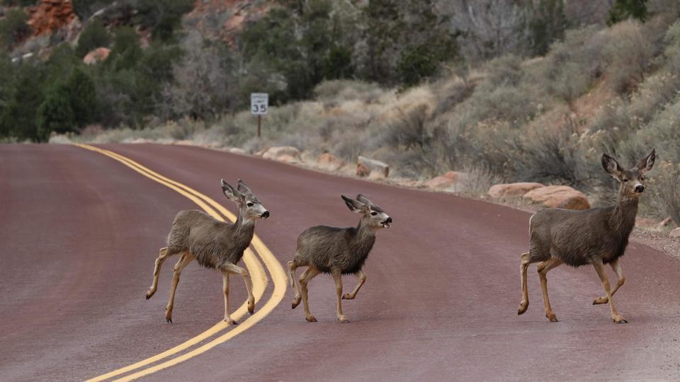 Deer run across a road at Zion National Park in Utah. (RHONA WISE / AFP)