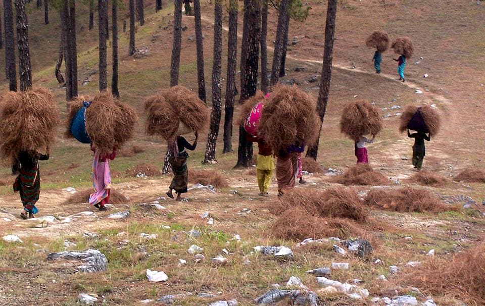 Women collect pine needles. Pine trees are in 18% (or 4,363 sqkm) area of the total 24,240 sqkm reserve forests in Uttarakhand.