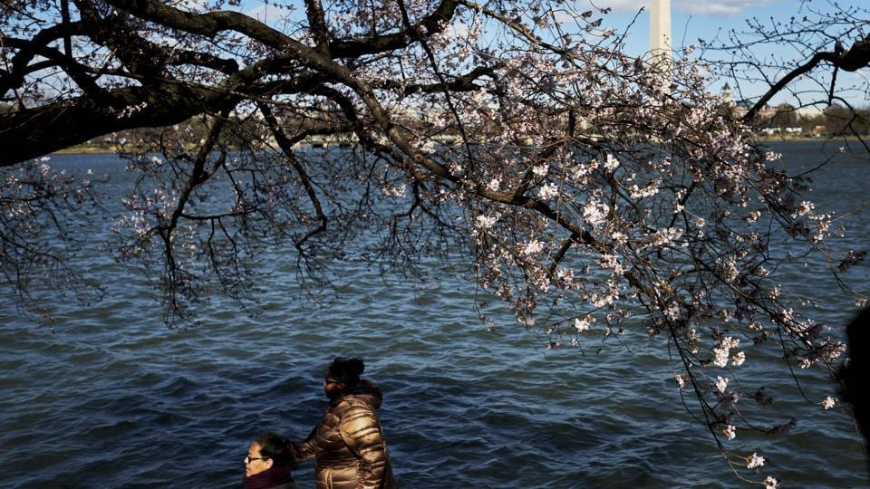 Yoshino cherry trees in bloom around the Tidal Basin . The official Cherry Blossom Festival  starts end of March (T.J. Kirkpatrick / NYT)