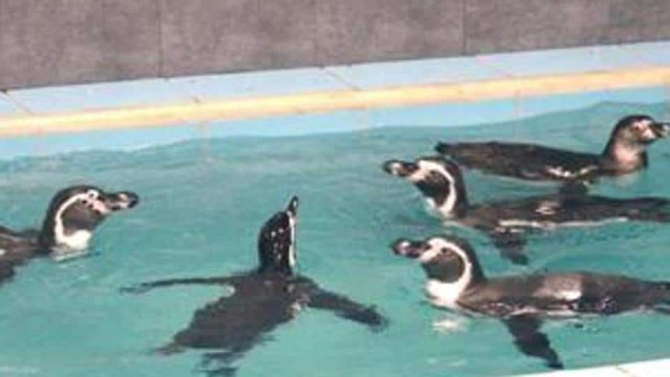 After the microbiologists gave a positive report after testing the condition of exhibits, the penguins were moved from the quarantine after almost seven months to the exhibits.