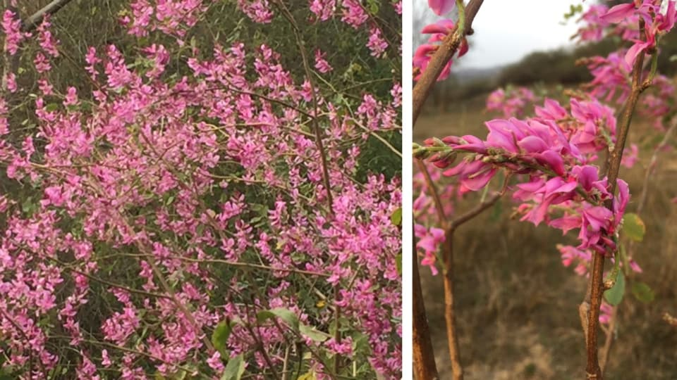 Indigofera pulchella in full bloom at Kahianwala on March 3; (right) a close­up of the flowers.