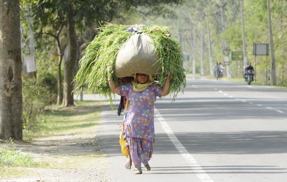 Women carrying fodder for animals on their heads at Dablan village near Patiala.  (Bharat Bhushan/HT Photo )