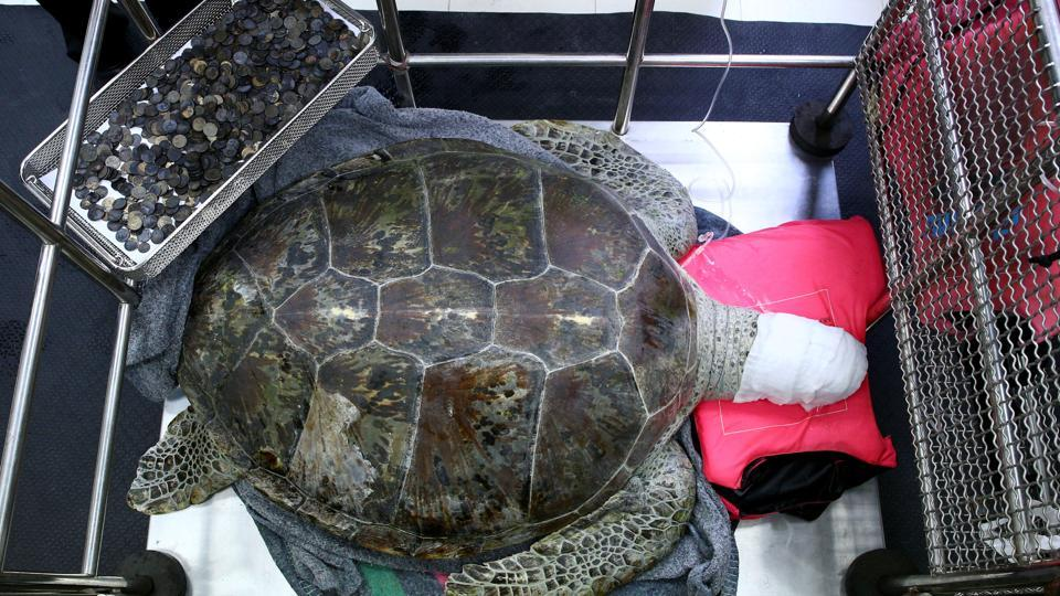 A 25 year old female green sea turtle, rests next to a tray of coins that were removed from her stomach at the Faculty of Veterinary Science, Chulalongkorn University in Bangkok. (Athit Perawongmetha / REUTERS)