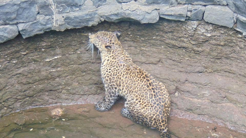A female leopard that was rescued from a well in Savidhane village.
