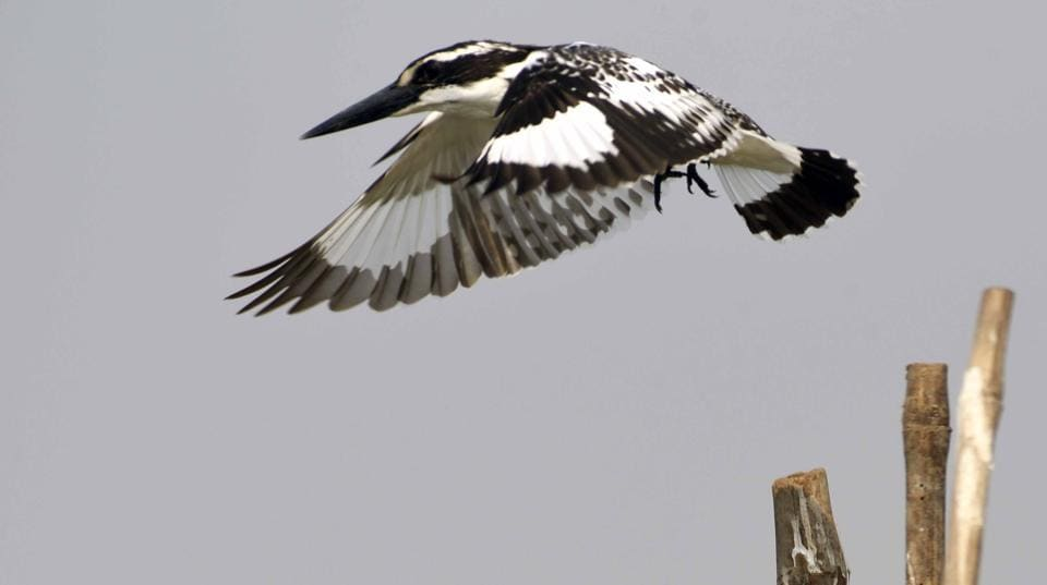The pied kingfisher with its distinctive black and white plumage.
