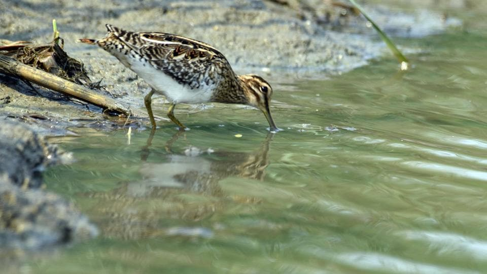 The plump, long-billed Common Snipe birds are among the most widespread shorebirds in the world. (Arabinda mohapatra)