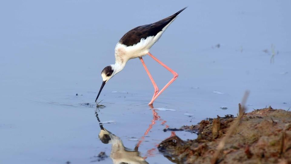 A Black winged stilt migratory bird looks for fish and insects. (Arabinda Mohapatra)